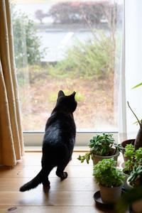 雨の日のクーちゃん - 猫と夕焼け