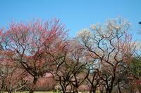 滑川町武蔵丘陵森林公園の梅園その3 - 日本あちこち撮り歩記