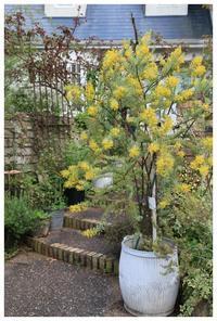 アカシアの木 - natu     * 素敵なナチュラルガーデンから~*     福岡で庭造り、外構工事(エクステリア)をしてます