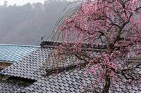 雨の月ヶ瀬~梅観道 後編 - katsuのヘタッピ風景
