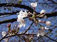 桜・咲くころ、再び - アコースティックな風
