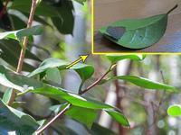 越冬中夏型ウラギンシジミ捕獲 - 秩父の蝶