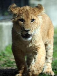 甘える子ライオン - 動物園放浪記