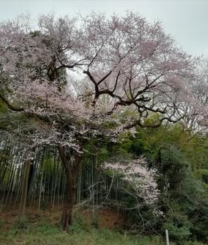 お花見2019 - 晴れの日シュワシュワ