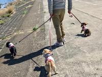 19年3月24日 グランド散歩! - 旅行犬 さくら 桃子 あんず 日記
