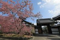 出町柳長徳寺のおかめ桜 - ぴんぼけふぉとぶろぐ2