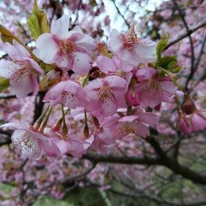 河津桜 - アンティークドボタンキコ(アンティーク、ヴィンテージ使用アクセサリーetc)
