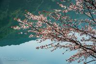 山桜が満開 - 撃沈風景写真