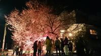 東九条の桜イベント - 京都アートカウンシル