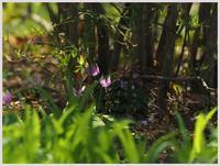 赤塚植物園・カタクリ018) - 趣味の写真 ~OLYMPUS E-M1MarkⅡ、PenF~