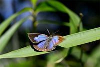 ムラサキシジミとルリシジミ - 蝶と自然の物語