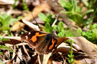 新生ベニシジミ撮影 - 蝶と自然の物語