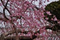 菊正宗酒造記念館の枝垂れ桜が見頃一歩手前 - たんぶーらんの戯言