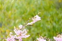 メジロと河津桜 - 平凡な日々の中で