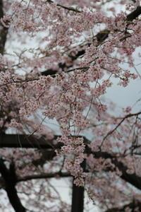 しだれ桜♪しなやかに~1 - Let's Enjoy Everyday!