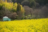 明日香の菜の花畑めぐり Ⅱ - まほろば 写真俳句