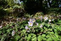 久しぶりにユキワリイチゲの群生Byヒナ - 仲良し夫婦DE生き物ブログ