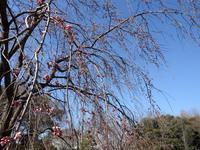 『穂先八重彼岸桜と木五倍子と尉鶲~』 - 自然風の自然風だより