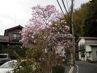 姫辛夷 (ヒメコブシ) - エンジェルの画日記・音楽の散歩道