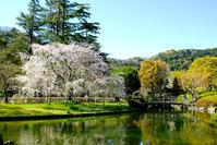 しだれ桜 - 長い木の橋