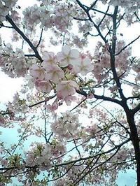 桜 - smaa skogen日記(スマスコーゲン)