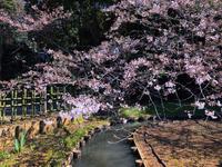 桜 - ++幸せ探す旅人の様な者++