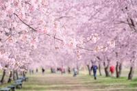 いつか行きたかった@北浅羽桜堤公園 - カメラをもってふらふらと