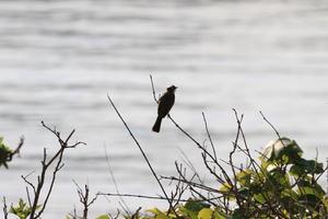 イソヒヨドリ♀、シロガシラ - 鳥と花の写真集2