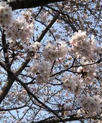 近所の桜 - 埼玉でのんびり暮らす