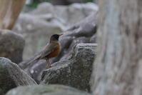 公園散歩…【オオアカハラ・シロハラ】 - 鳥観日和