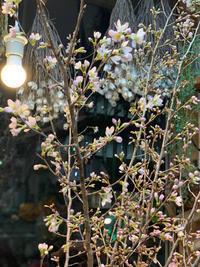 桜の枝が入荷しました - ルーシュの花仕事