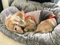 19年3月25日 ネムネムモード(_ _).。o○ - 旅行犬 さくら 桃子 あんず 日記