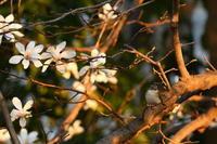 ニシオジロビタキ03月24日 - 旧サンヨン野鳥撮影放浪記