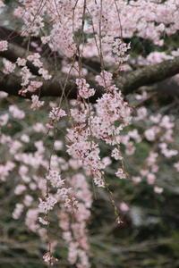 しだれ桜、ゆらゆら可憐に~♪2 - Let's Enjoy Everyday!