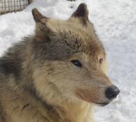 3月23日の円山動物園のオオカミ - 黄金絹毛鼠(コガネキヌゲネズミ)