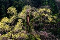 気になる木 - 長い木の橋