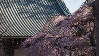 宝幢寺の桜 - belakangan ini