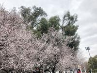 桜気分 - y's 通信 ~季節を彩る風物詩~