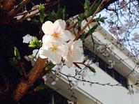 桜咲き始めました♪ - yuko-san blog*