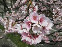 「サクラサク」 春のよろこび - タビノイロドリ
