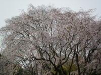 今年のお花見-六義園- - rhizome2-地下茎-