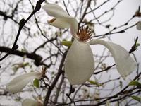 昼の木蓮 夜は桜 - いや、だから 姉ちゃん じゃなくて ネイチャー・・・