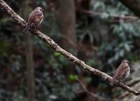 春の冬鳥たち - 世話要らずの庭