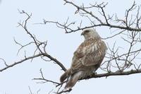ケアシノスリ⑨枝止まり - 気まぐれ野鳥写真