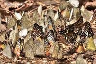 21090221 タイ王国の散歩道:チョウの吸水集団に自然力を見た(ゲンカチャン国立公園) - NATURE DIARY