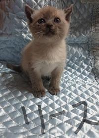 お行儀は良くじゃれまくる弟分 リース - MINKWIN Cattery &Pretty Aki                    トンキニーズの店