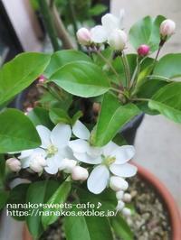 3月のベランダガーデン*姫リンゴ開花 - nanako*sweets-cafe♪