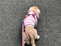 19年3月26日 急な雨でお散歩残念! - 旅行犬 さくら 桃子 あんず 日記