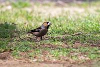 コワモテ!? - 趣味の野鳥撮影