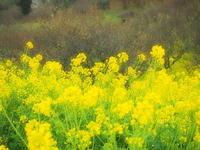 SpringYelloW - 風の香に誘われて 風景のふぉと缶
